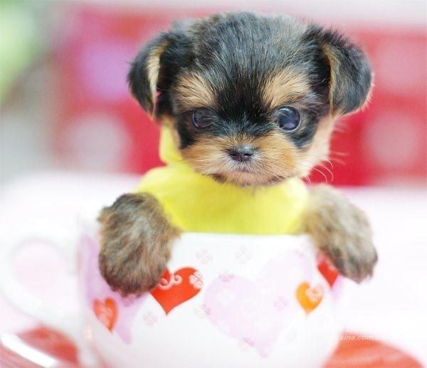 Pics Photos - Teacup Dog Breeds Small Breeds Of Dogs Types Of Small ...